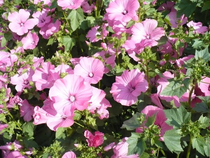 Розовая лаватера для флористической композиции