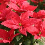 Фото 87: Poinsettia Jester Jingle