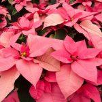 Фото 92: Poinsettia 'Mars Pink'