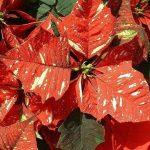 Фото 96: Poinsettia 'Sonora White Glitter'