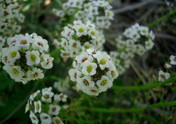 Лобулярия - достойное украшение любого сада