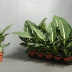 Фото 46: Dieffenbachia green magic