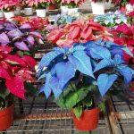 Фото 77: Паунсеттия разноцветная