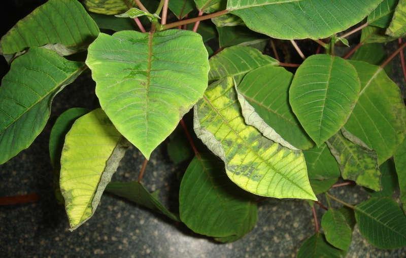 Пожелтение листьев пуансеттии