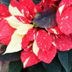 Фото 83: Poinsettia Eckespoint Primero Gingle Bells