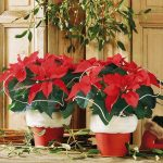 Фото 84: Poinsettia Euro Glory Black Beauty