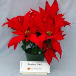 Фото 88: Poinsettia jester Red
