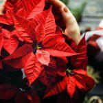 Фото 39: Красная пуансеттия