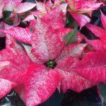 Фото 103: Poinsettia premium picasso