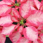Фото 98: Poinsettia ice crystal