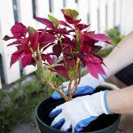 Фото 113: Комнатный цветок пуансетия уход фото