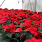 Фото 115: Выращивание паунсеттии в теплице