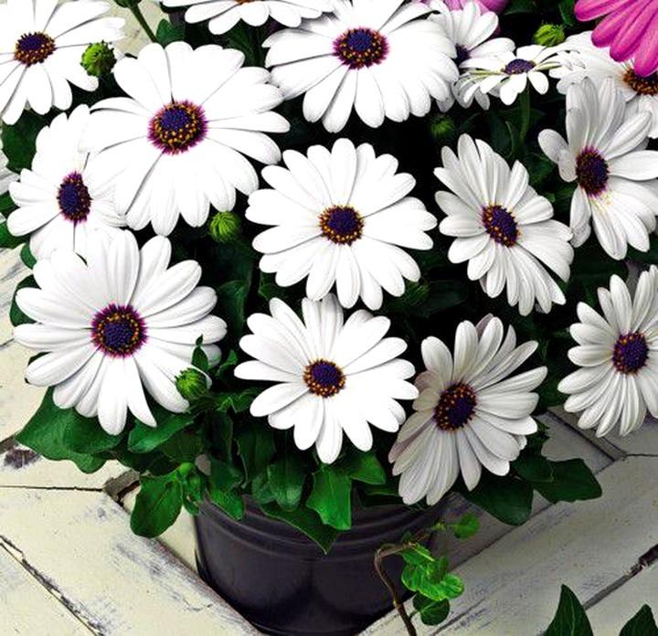 Остеоспермум с белыми цветами