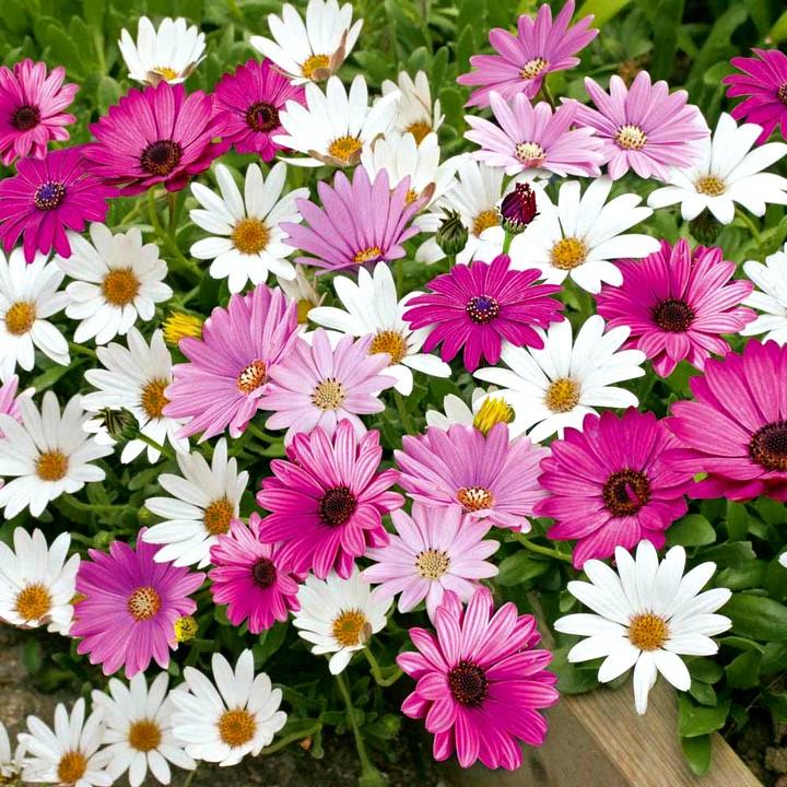 Остеоспермум цветы (2)