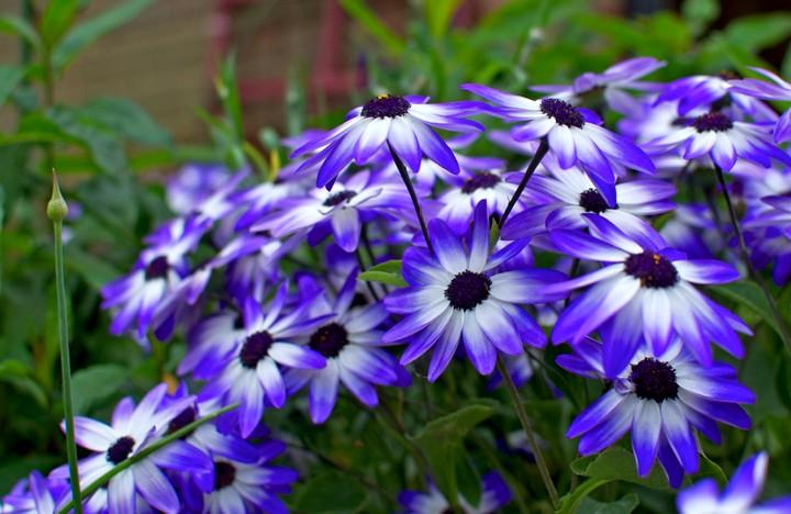 Остеоспермум цветы (3)