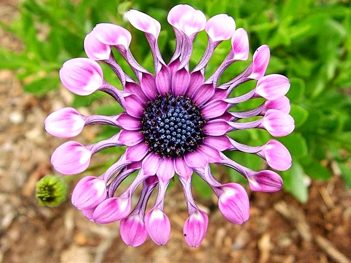 Остеоспермум цветы (5)