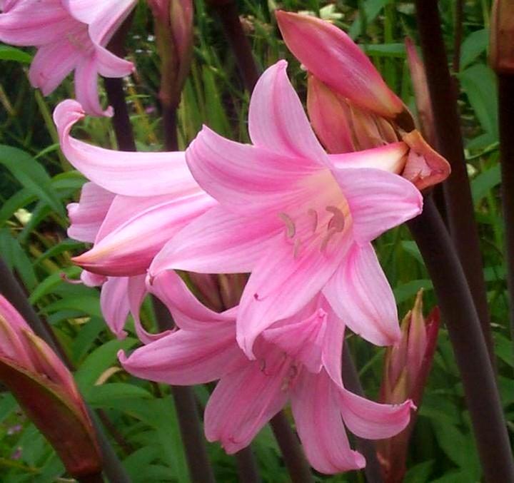 амариллис цветы (2)
