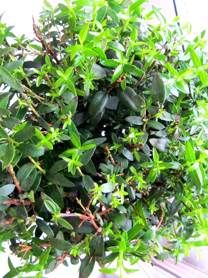 мирт дерево (2)