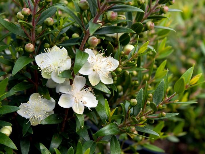 мирт цветы (2)