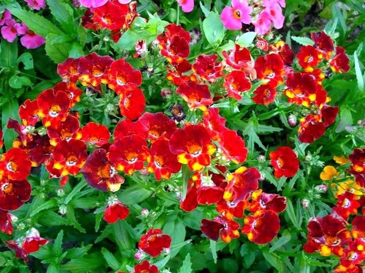 немезия цветы (2)