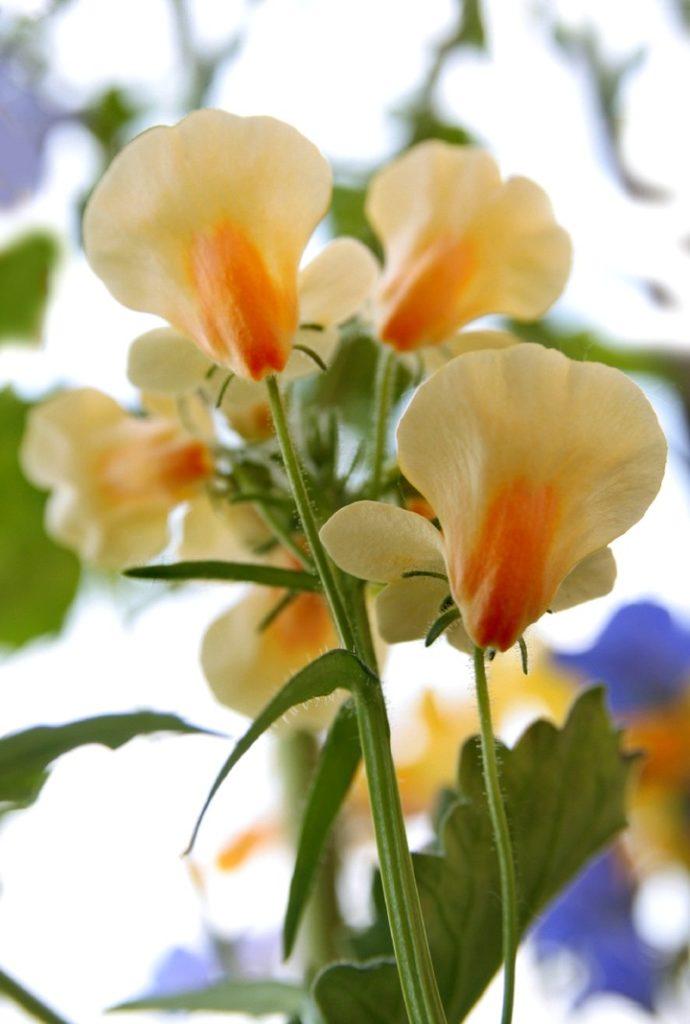 немезия цветы 3