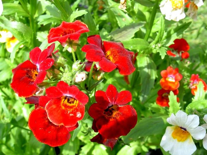 немезия цветы