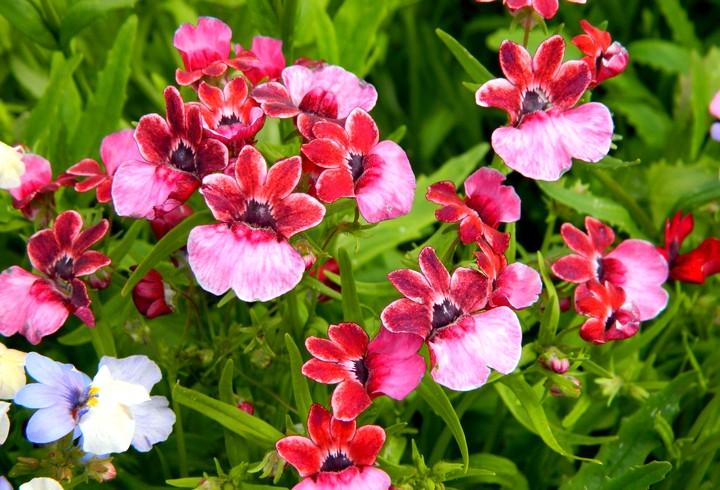 немезия цветы2