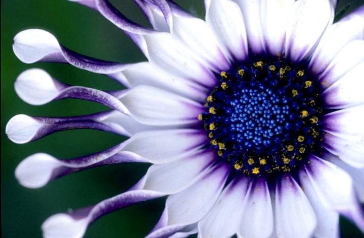остеоспермум цветы (4)