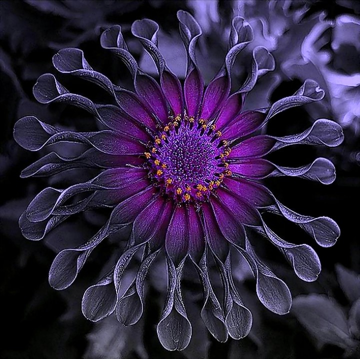 остеоспермум цветы