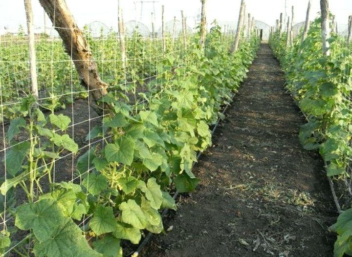 Шпалеры для выращивания огурцов