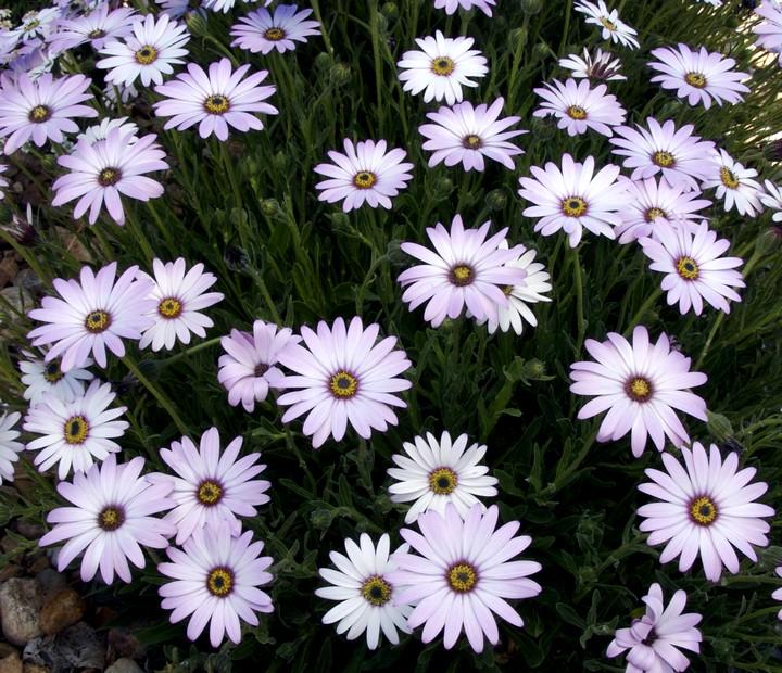 Osteospermum Lavender Mist DW