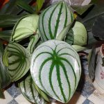 Фото 59: Peperomia argyreia