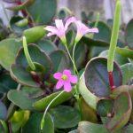 Фото 36: Peperomia clusiifolia