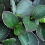 Фото 35: Peperomia clusiifolia 'Red Margin'