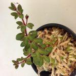 Фото 142: цветок пеперомия фото