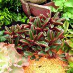 Фото 118: Peperomia graveolens в саду