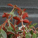 Фото 74: Выращивание пеперомии красноватой