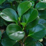 Фото 24: Листья переромии магнолиеслистной