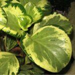 Фото 67: Пеперомия obtusifolia Variegata