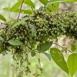 Фото 106: Peperomia rotundifolia в природе