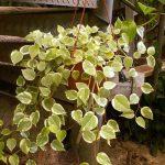 Фото 123: Peperomia scandens Variegata ампельное выращивание