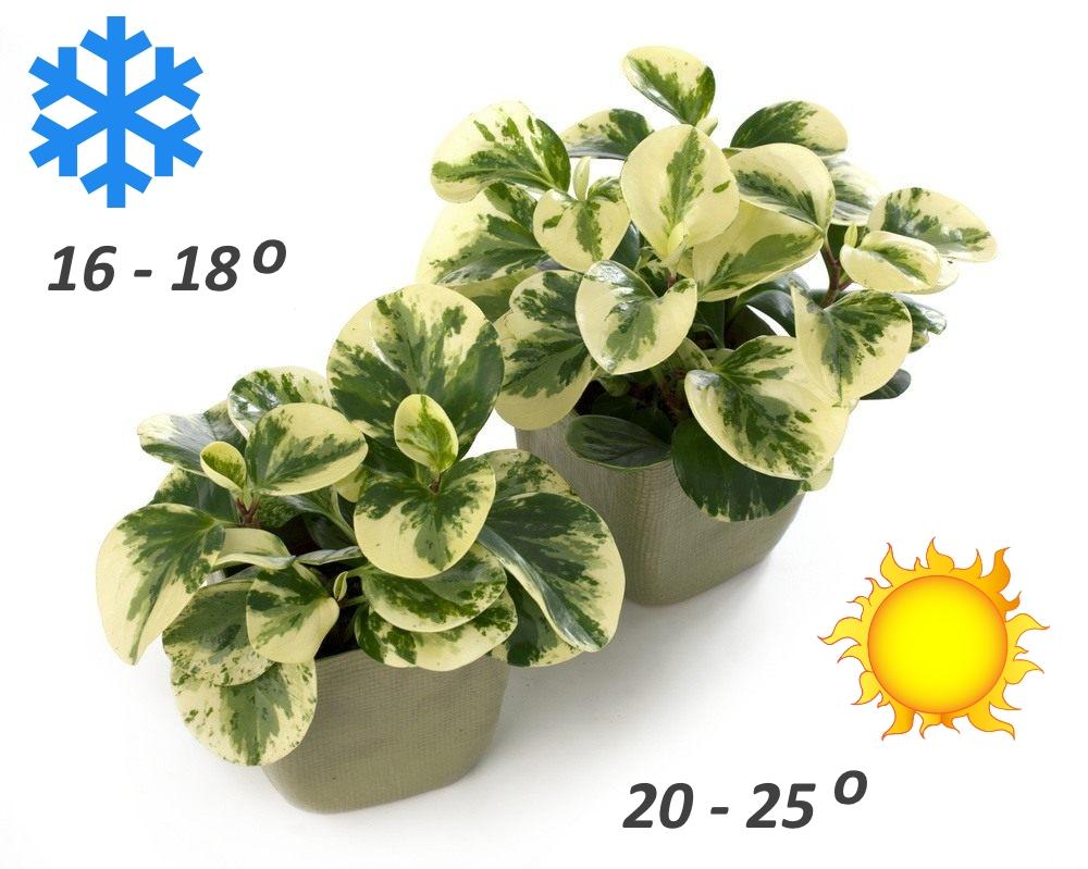 Оптимальная температуры выращивания пеперомии