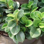 Фото 19: Peperomia obtusifolia