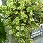 Фото 145: Peperomia obtusifolia Greengold