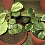 Фото 68: Пеперомия btusifolia variegata yercaud