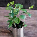 Фото 81: Peperomia pereskiifolia