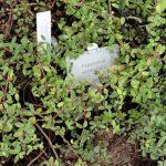 Фото 57: Пеперомия мутовчатая в саду