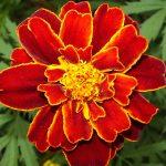 Фото 33: Бпрхатцы сорта Красный самоцвет
