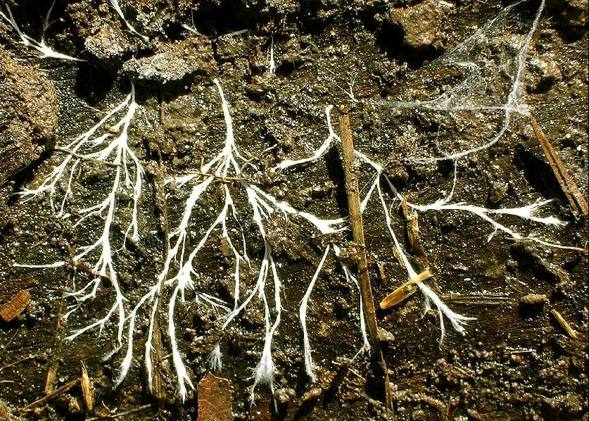 Мицелий грибов