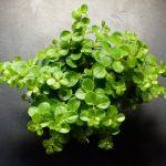 Фото 107: Выращивание пеперомии ротундифолии